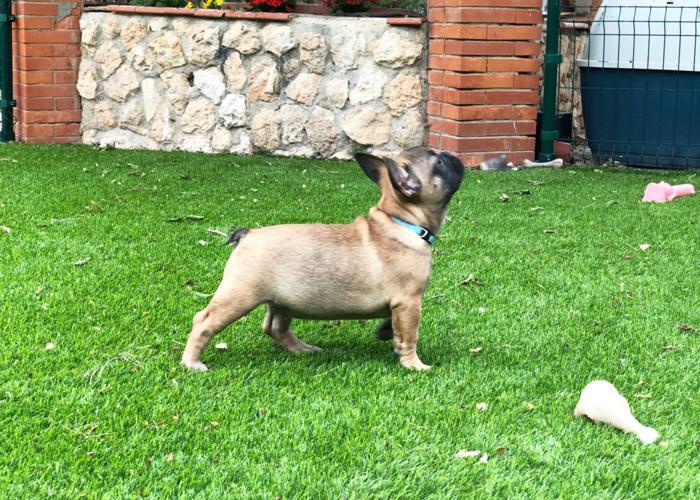 cachorrito bulldog frances aurelio padre Blue & tan 3