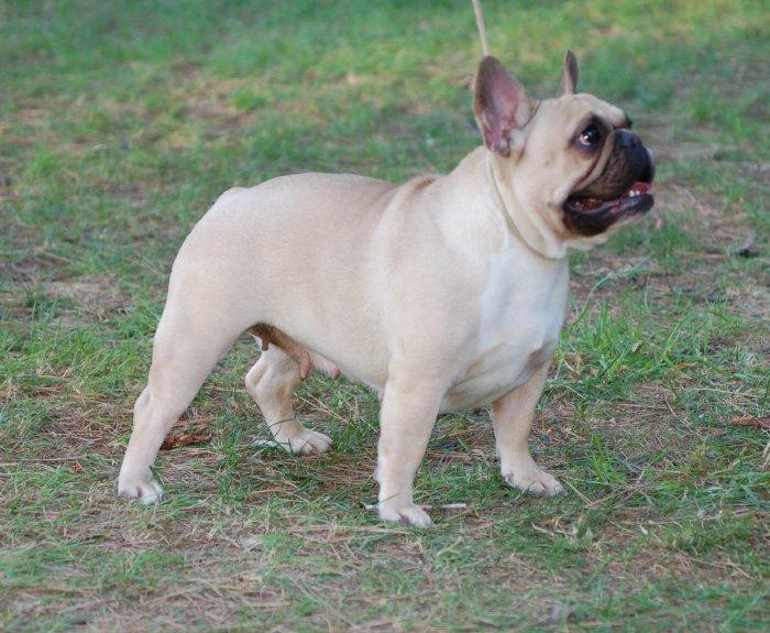 hembra bulldog frances Fawn Beatriz 2
