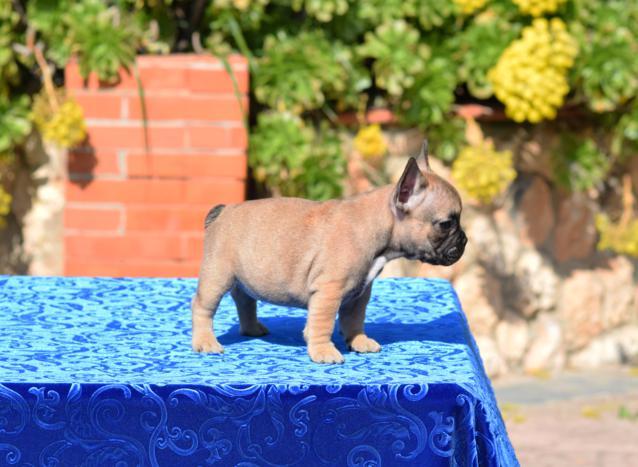 cachorrita de bulldog frances hembra salome 2
