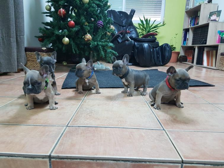 preciosos cachorritos bulldog frances, blue and tan, blue fanw y blue