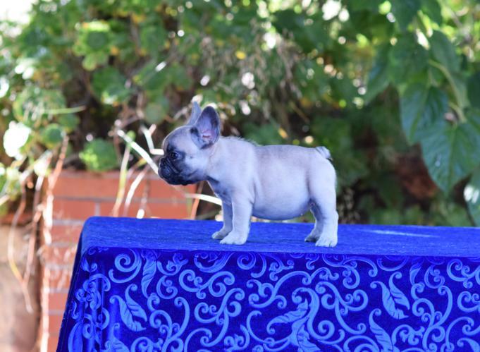 cachorrita  bulldog frances hembra Daniela 4