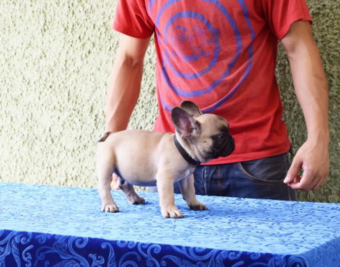 cachorrito de bulldog frances macho lukas