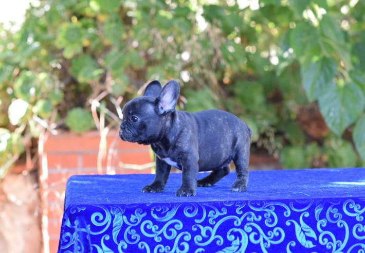 cachorrita  bulldog frances hembra Sandra 2