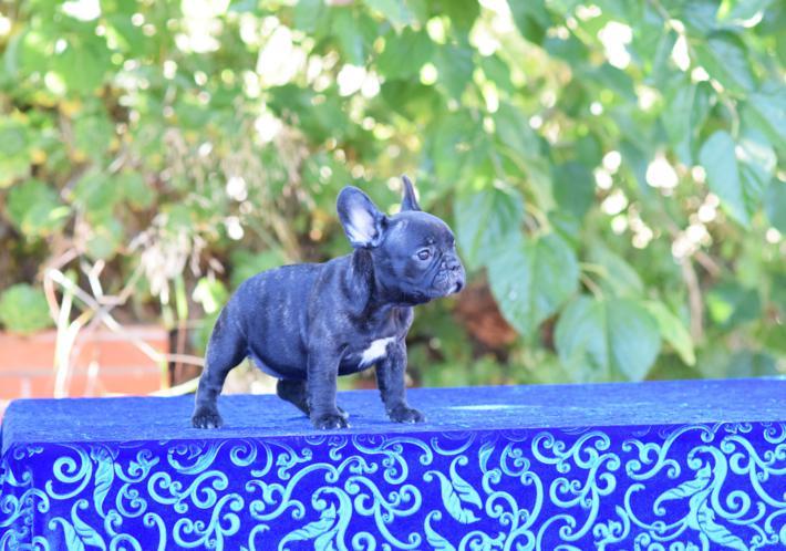 cachorrita  bulldog frances hembra Sandra 4