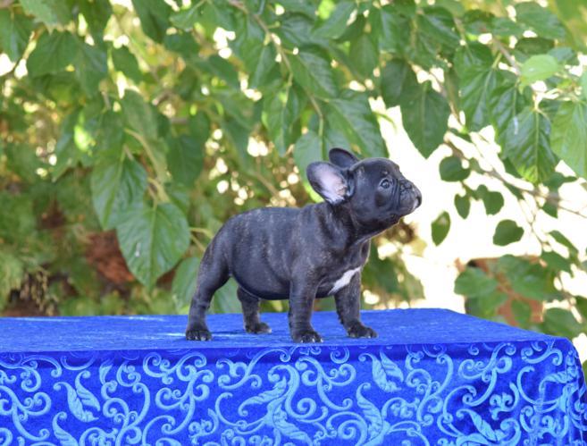 cachorrita  bulldog frances hembra Sandra 5