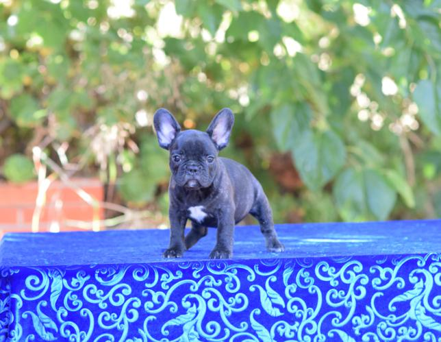 cachorrita  bulldog frances hembra Sandra