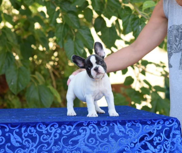 cachorrita de bulldog frances hembra Susanne 3