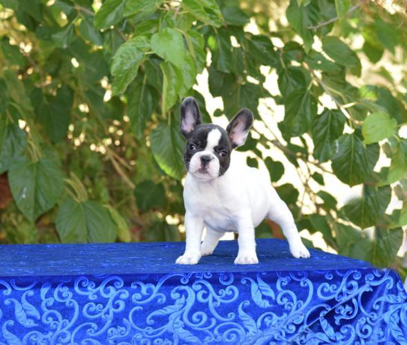 cachorrita de bulldog frances hembra Susanne 4