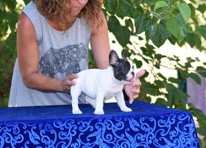 cachorrita de bulldog frances hembra Susanne 5