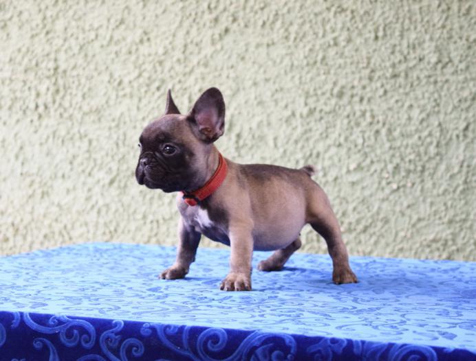 cachorrita de bulldog frances hembra Ursula 4