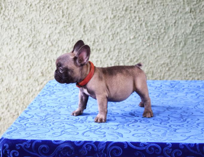 cachorrita de bulldog frances hembra Ursula 5