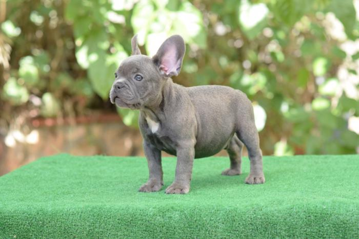cachorrito bulldog frances Blue & tan Roger 2