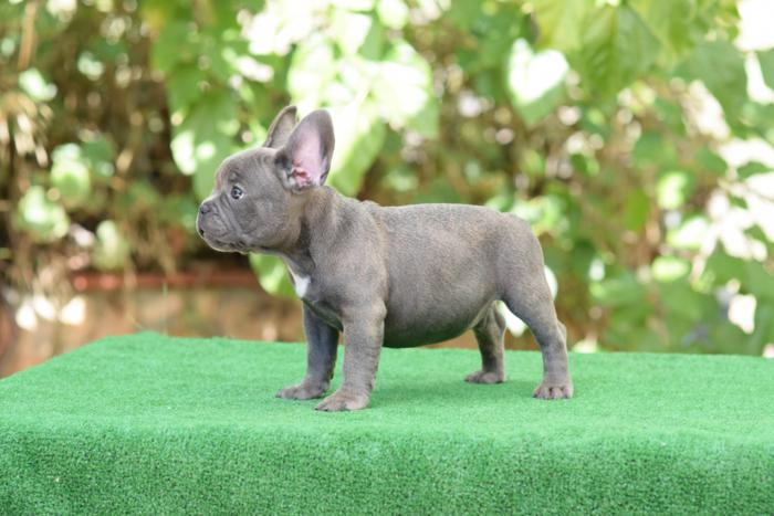 cachorrito bulldog frances Blue & tan Roger 3