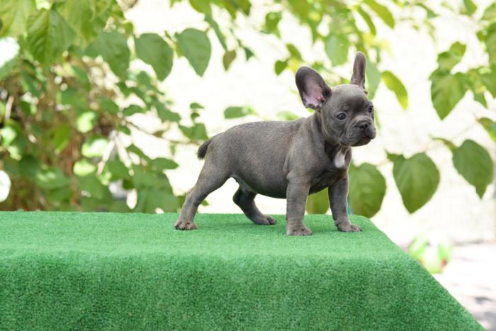 cachorrito bulldog frances Blue & tan Roger 4