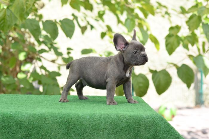 cachorrito bulldog frances Blue & tan Roger 5