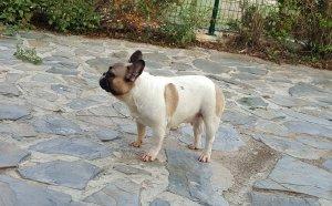 hembra de bulldog frances Colombia