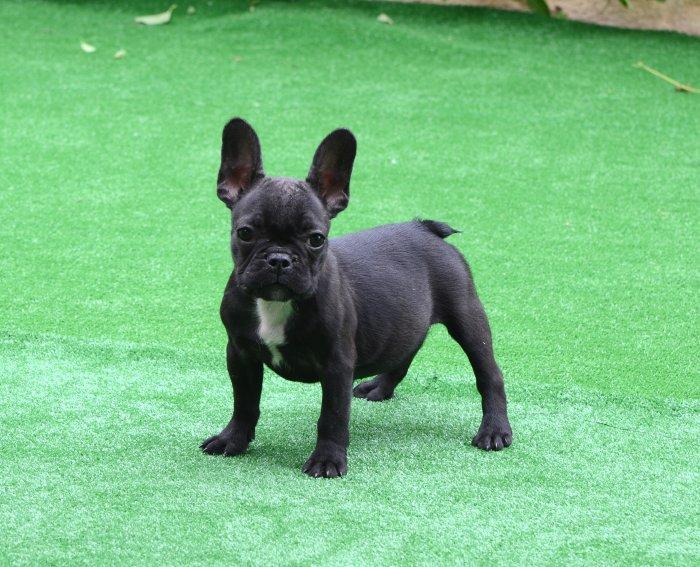 bulldog frances negro, cachorro hembra, Damara 2