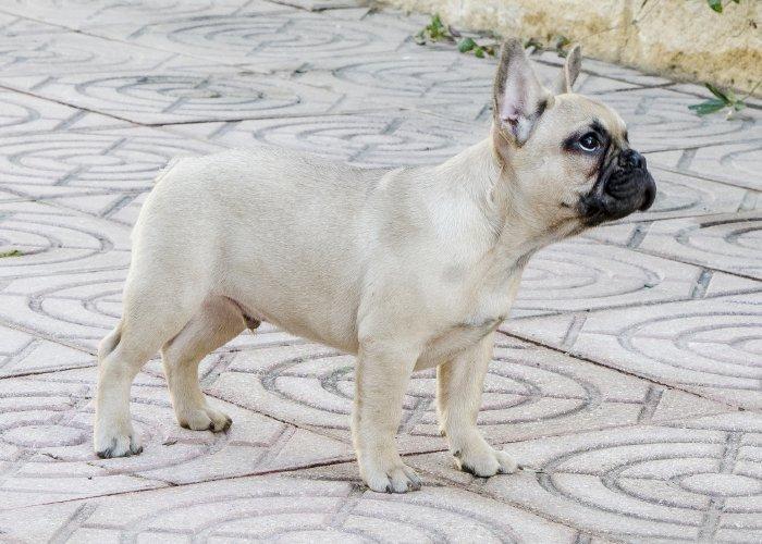 bulldog frances macho, cachorrito fawn, Pilot 2