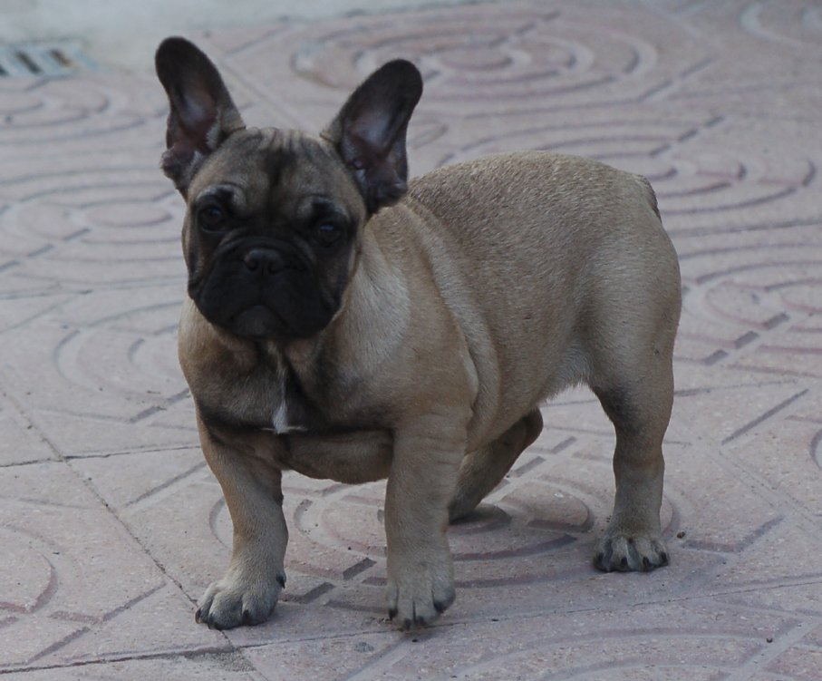 hembra de bulldog frances ,cachorrita fawn, bolivia 6