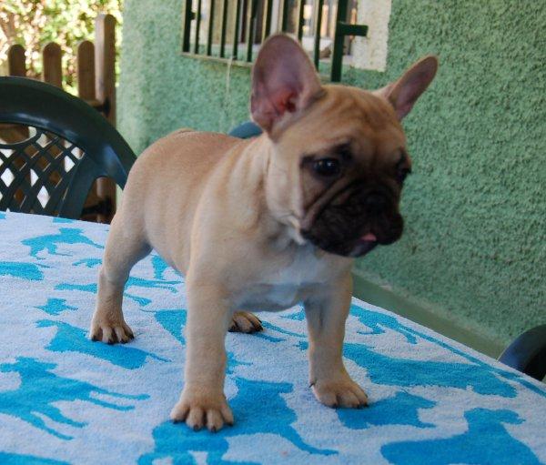 cachorrode bulldog frances , macho leonado, hijo de Geronimo 5
