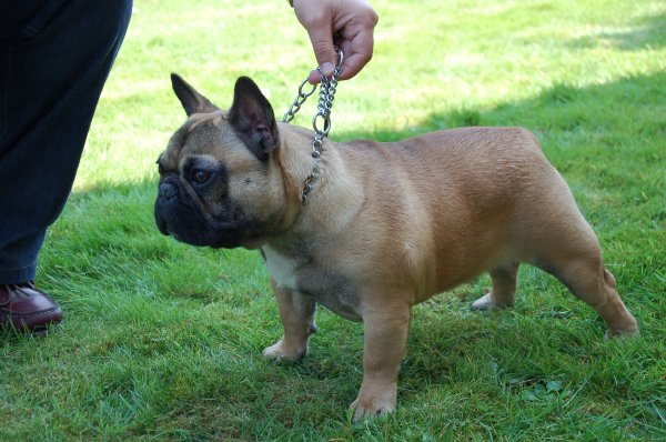 bulldog frances cachorro, macho fawn, Noa 8