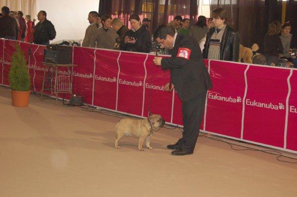 bulldog frances cachorro, en salida rin, macho marron,1