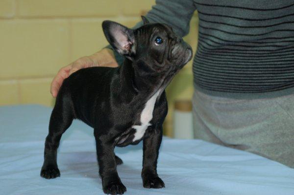 bulldog frances cachorro, hembra negra ,hija de volki 3
