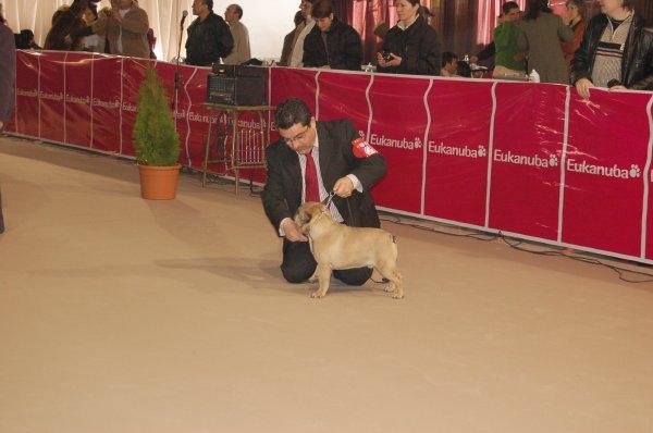 posando cachorro de bulldog frances , leonado macho, leonardo 2