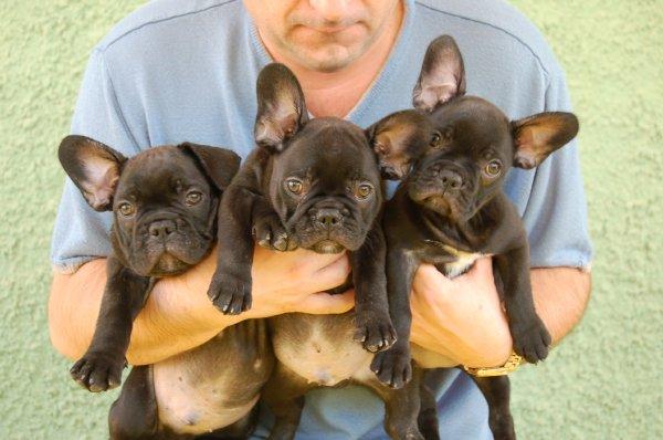 cachorros de bulldog frances , posando las caritas, color atigrado ,6