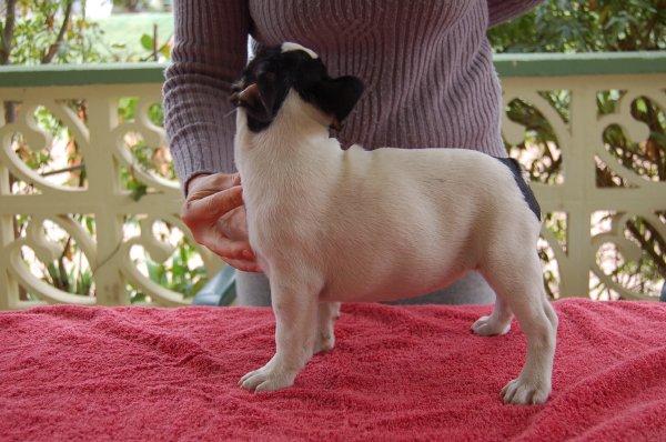 bulldog frances cachorrita ,hembra blanca y atigrado, Faska 2