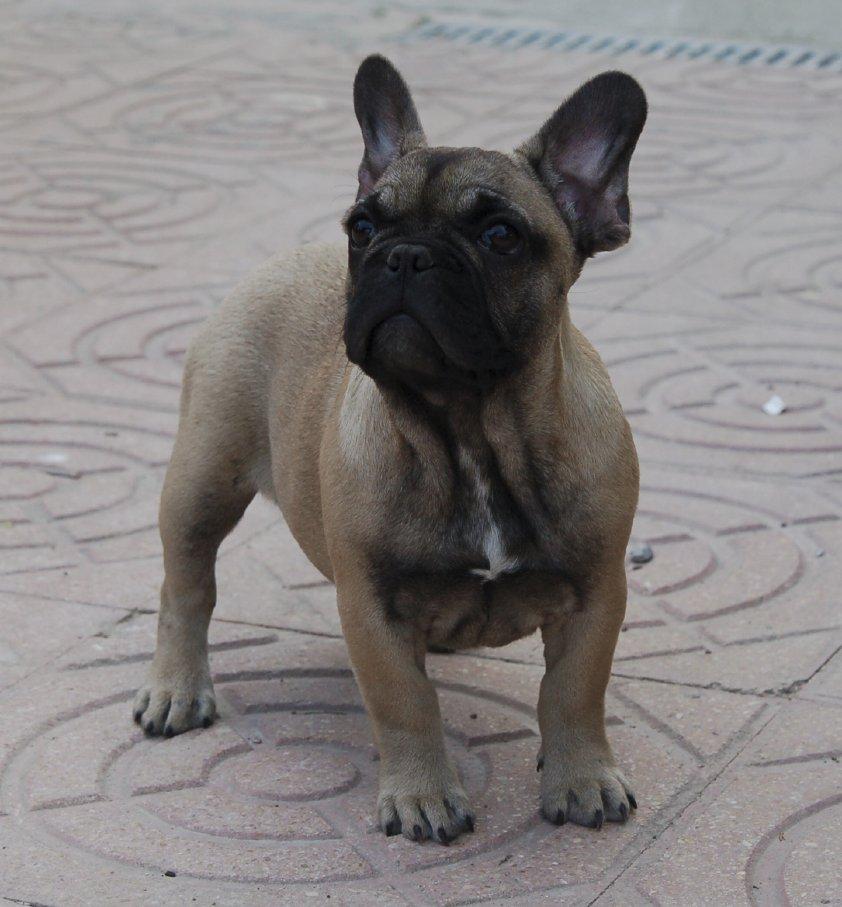 preciosa cachorrita de bulldog frances marron, bolivia 4