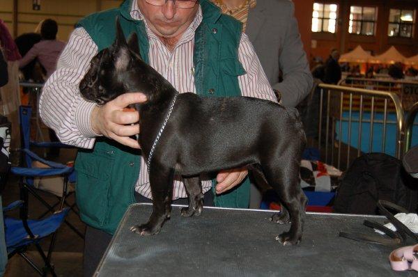 cachorrita de bulldog frances , hembra negra, Fanta 1