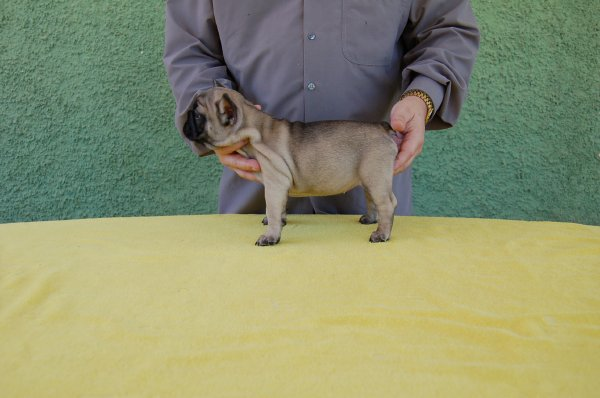 preciosa cachorrita de bulldog frances , hembar fawn,  Lisa 9
