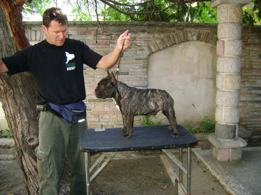 macho de bulldog frances atigrado posando, jowi, (argentina)