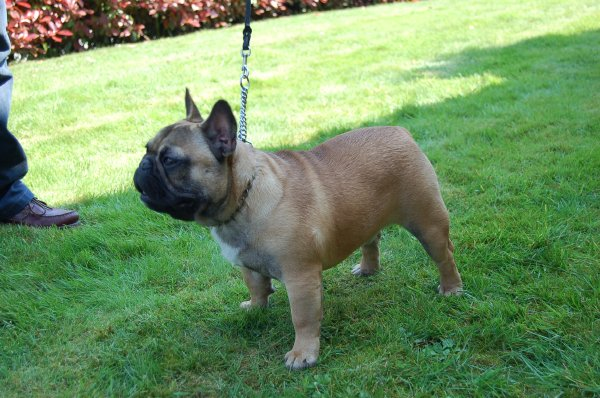 precioso cachorro de bulldog frances, macho fawn Noa 2