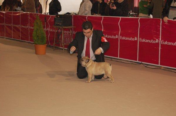 bulldog frances marron, cachorrito  macho, leonardo 3