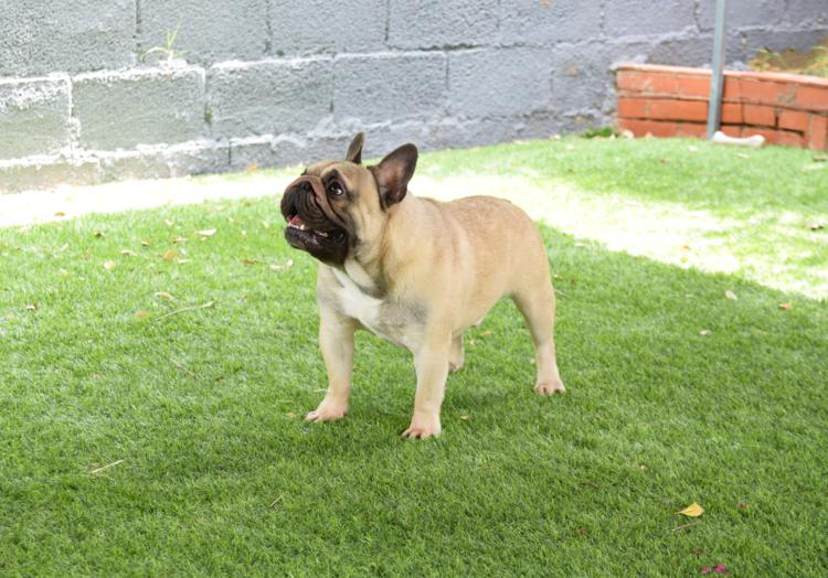 lindo bulldog frances honore 2