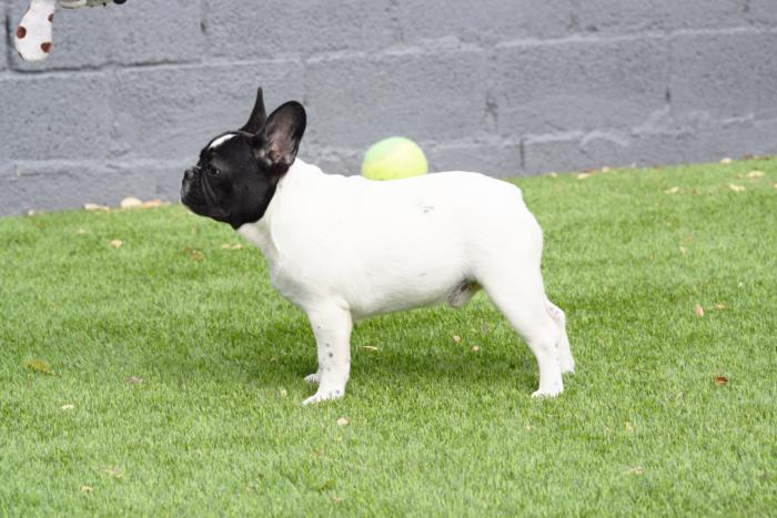 cachorrito de bulldog frances macho arnaldo 4