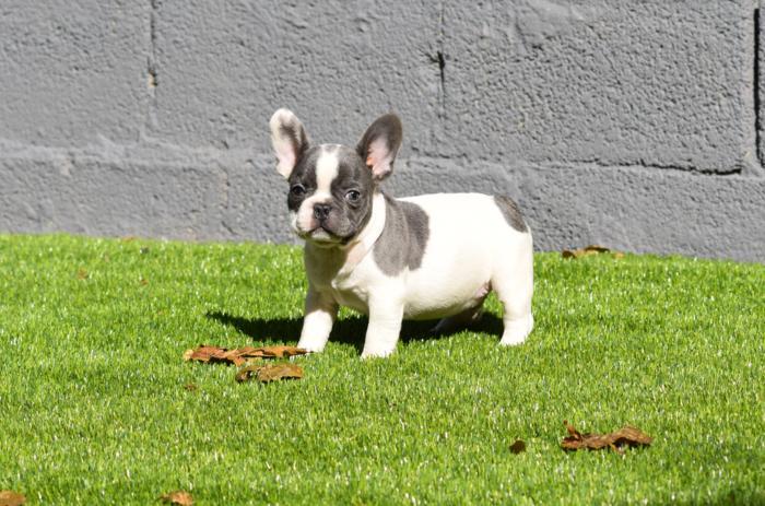 cachorrito bulldog frances paid blue adolfo 2