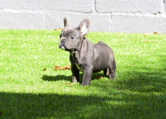cachorrita bulldog frances blue albertina