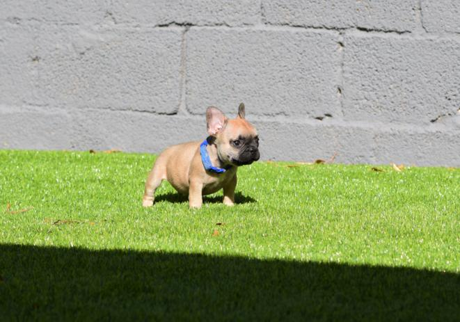 cachorrito bulldog frances Fawn Alessandro 5