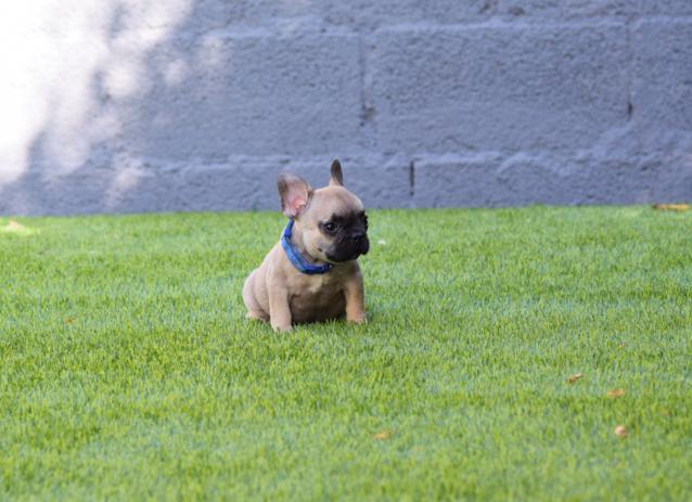 cachorrita bulldog frances Fawn Alessandra