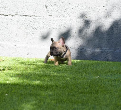 cachorrito bulldog frances Fawn Alessio 3