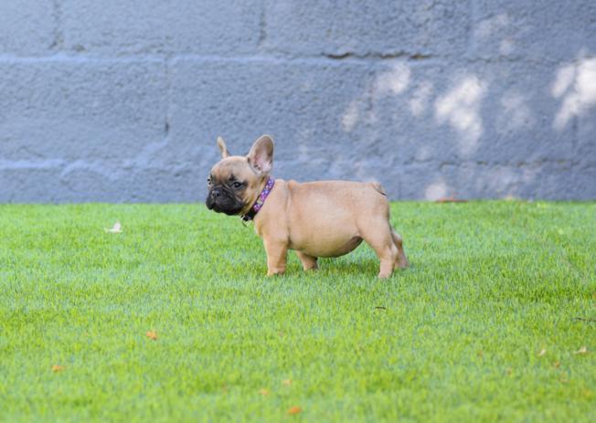 cachorrita bulldog frances Fawn Allegria  2