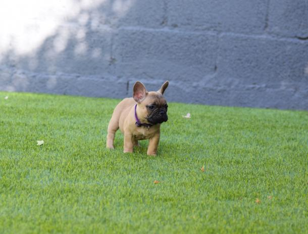 cachorrita bulldog frances Fawn Allegria  3