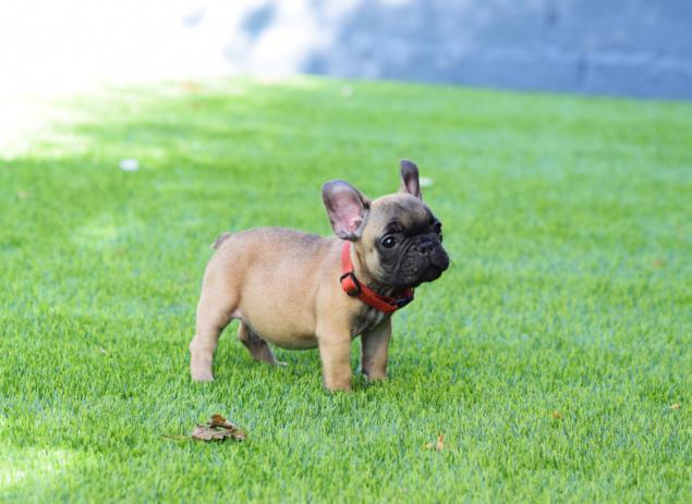 cachorrita bulldog frances leonado Amadea 2