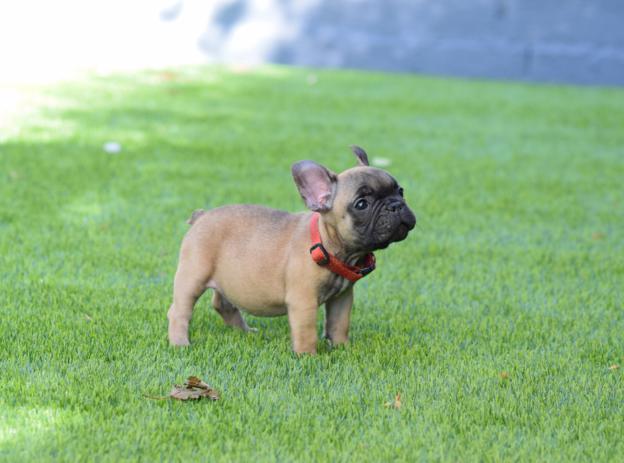 cachorrita bulldog frances leonado Amadea 3