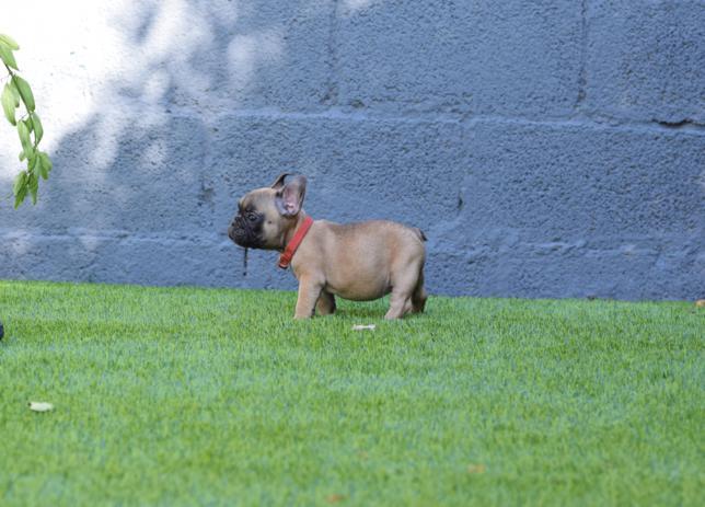 cachorrita bulldog frances leonado Amadea 5