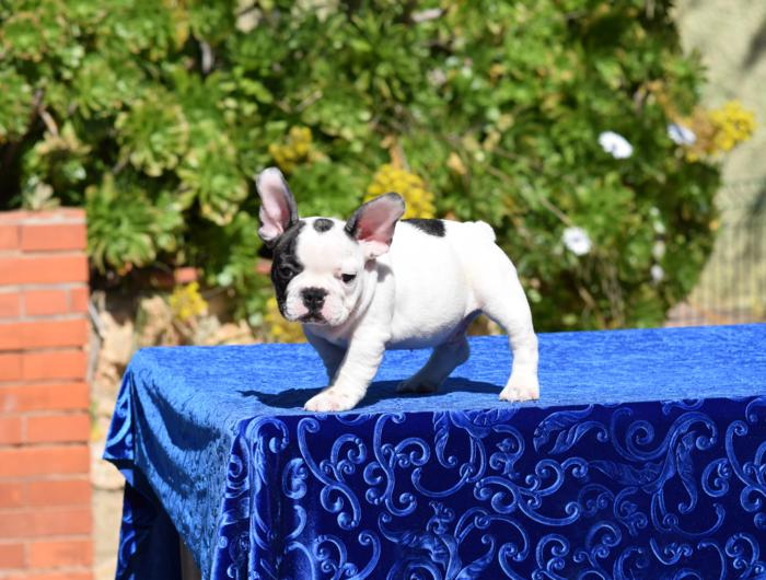 bulldog frances cachorro disponible Abel 4