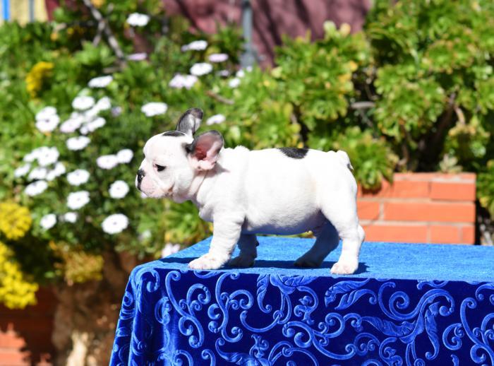 bulldog frances cachorro disponible Abel 5